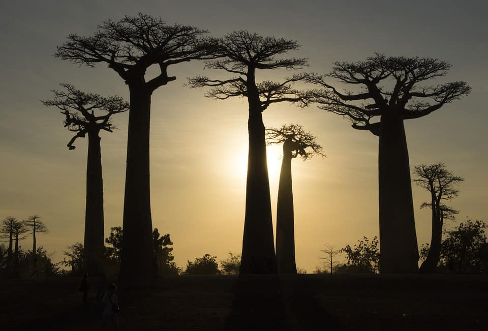 sacred-iconic-trees-around-world-1-baobad-tree
