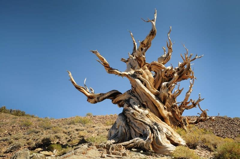 sacred-iconic-trees-around-world-8-the-bristlecone-pine