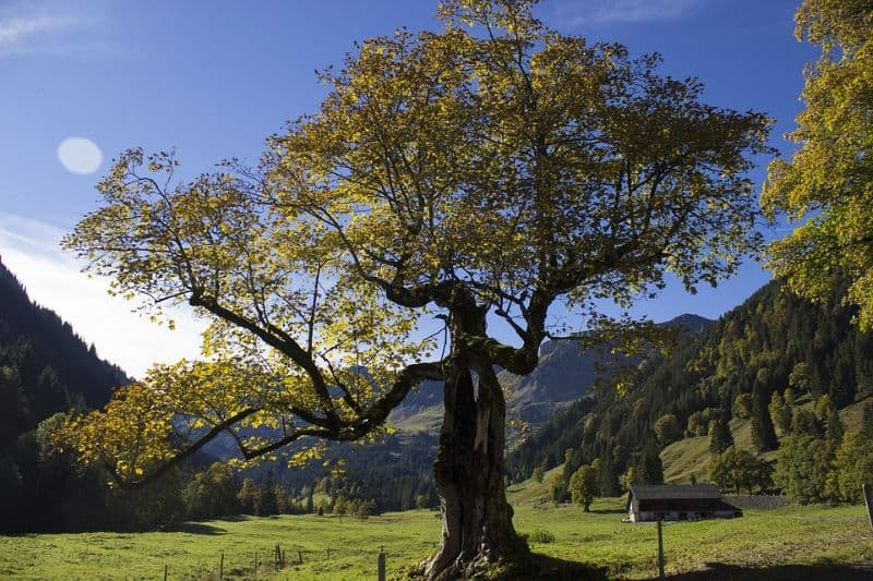 sacred-iconic-trees-around-world-9-the-sycamore-tree