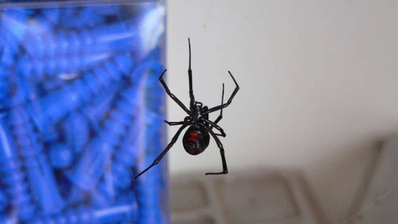 scariest-uk-spiders-in-shed-1-false-widow-spider