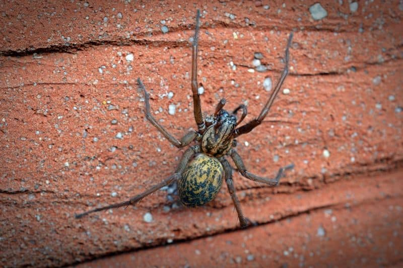 scariest-uk-spiders-in-shed-2-giant-house-spider