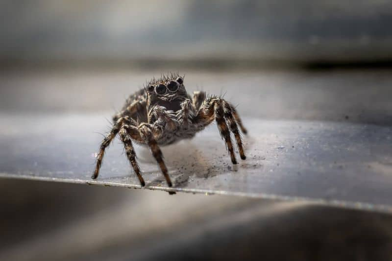 scariest-uk-spiders-in-shed-3-zebra-jumping-spider