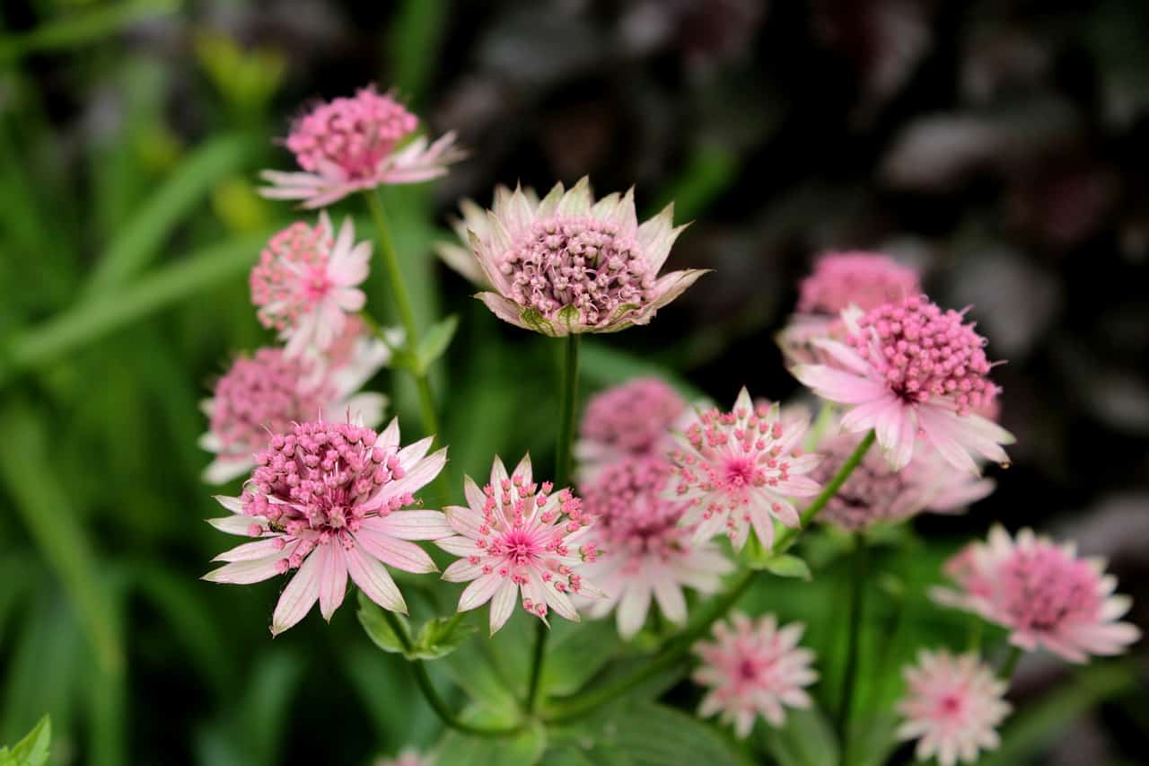 shade-loving-plants-10-astrantia-pixabay