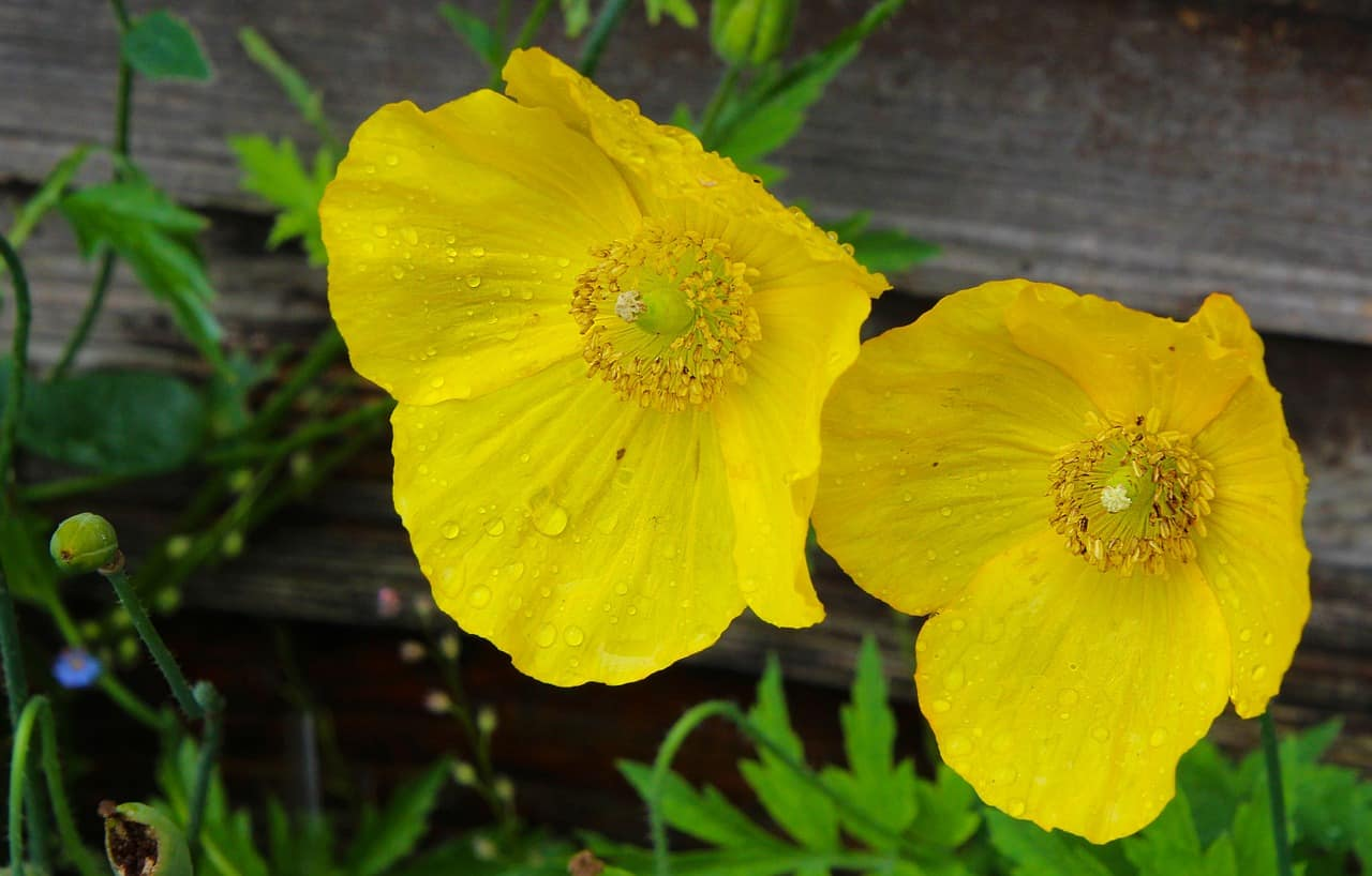 shade-loving-plants-4-welsh-poppy-pixabay