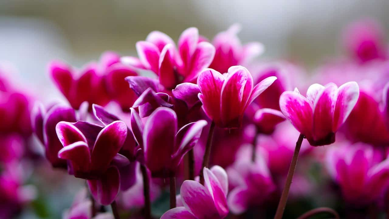 shade-loving-plants-5-cyclamen-pizabay
