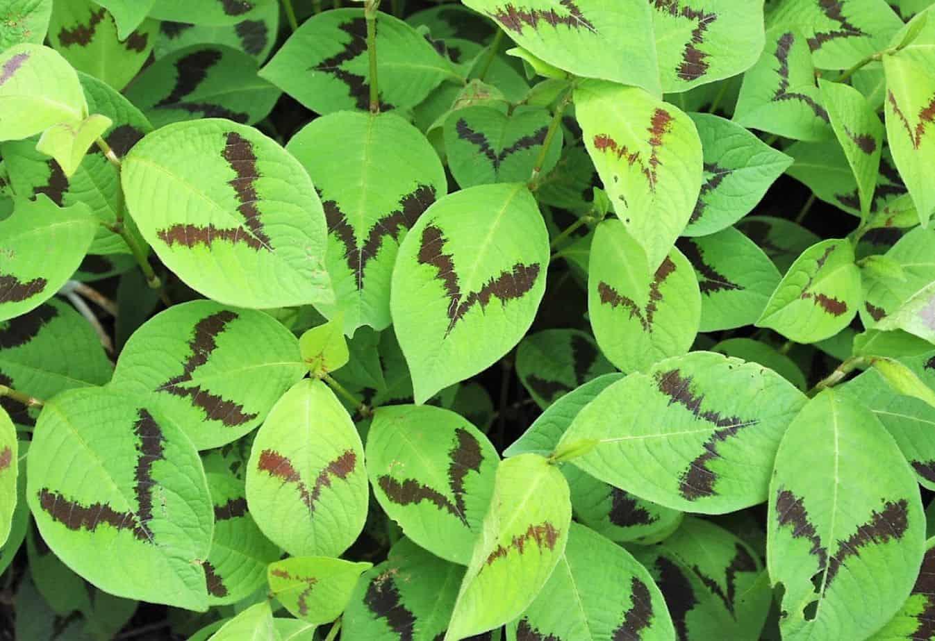 shade-loving-plants-6-persicaria-virginiana-pixabay