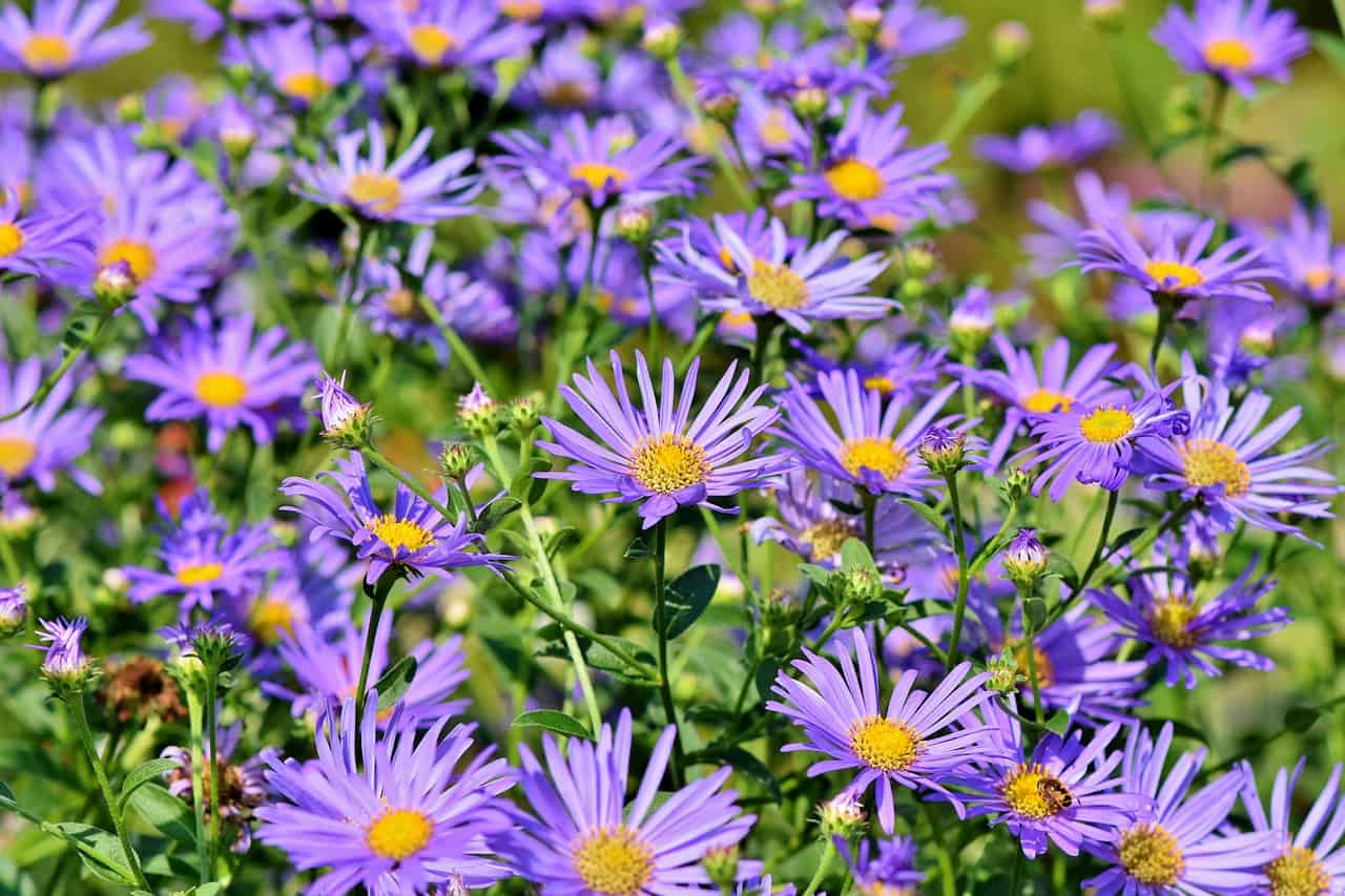 shade-loving-plants-7-new-england-aster-pixabay