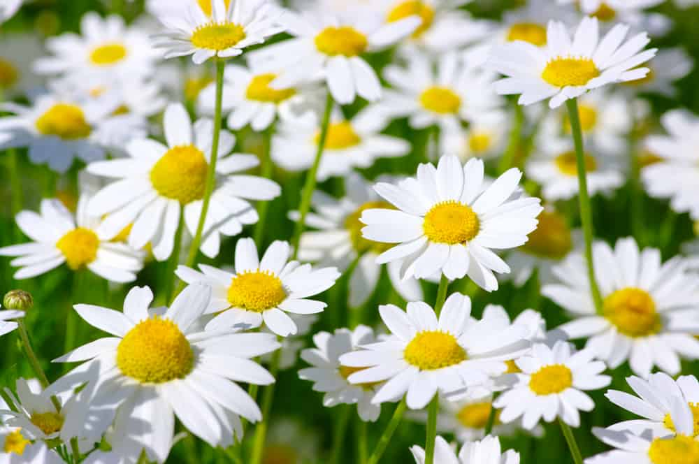 shutterstock 122200138 How To Make a Daisy Chain