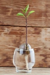 regrow avocado