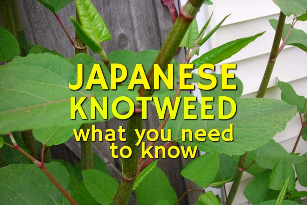 stencil.default 10 7 Japanese Knotweed   What You Need To Know