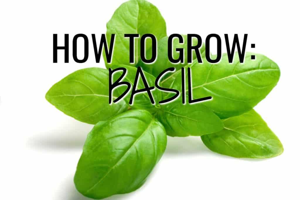 stencil.default 21 2 How to Grow Basil