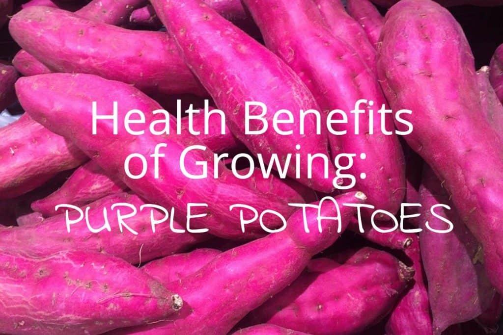 Health Benefits of Growing Purple Potatoes