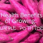 Health Benefits of Growing Purple Potatoes