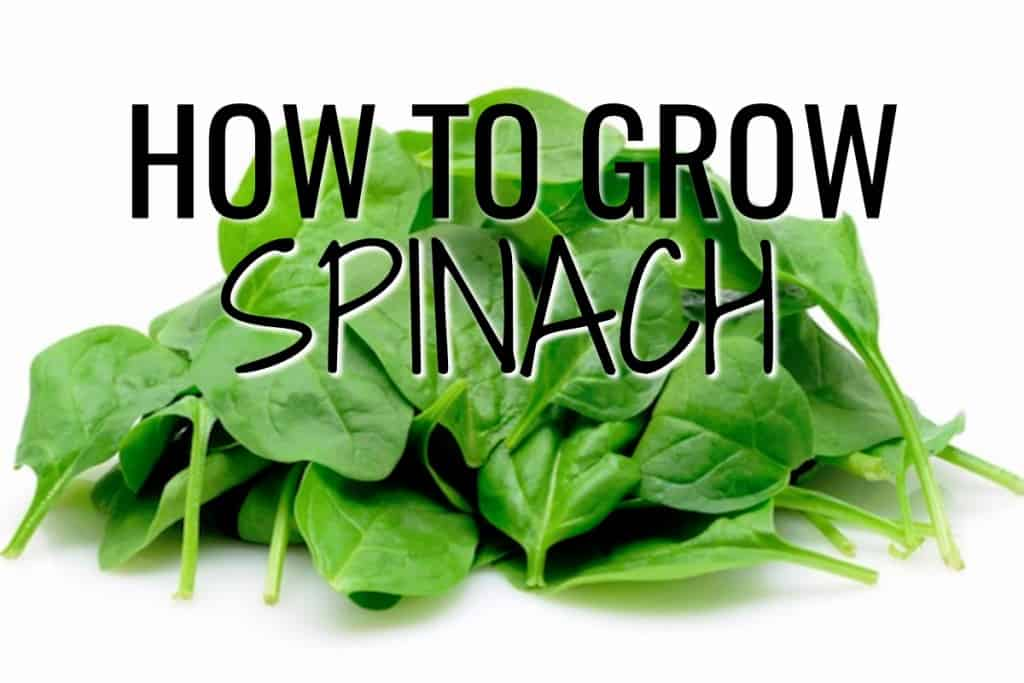 stencil.default 44 How to Grow Spinach