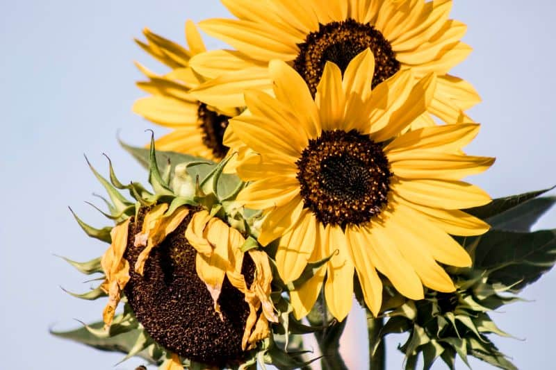 sunflowers-a-beginners-guide-1-recommended-varieties-to-grow-at-home