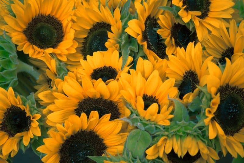 sunflowers-a-beginners-guide-2-smaller-sunflowers