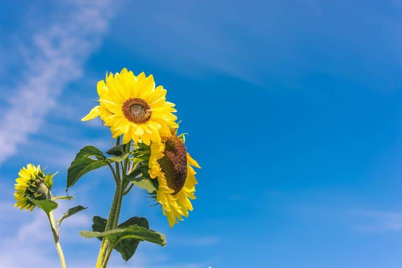 sunflowers-a-beginners-guide-3-growing-tips