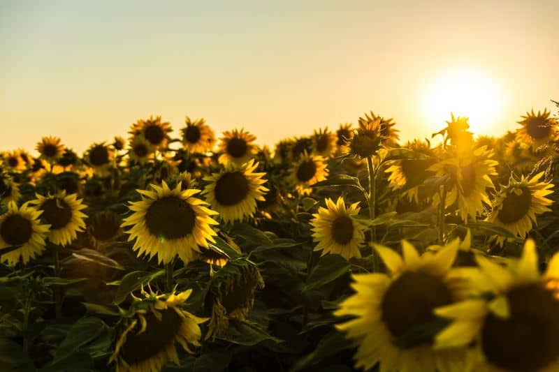 sunflowers-a-beginners-guide-4-problem-solver