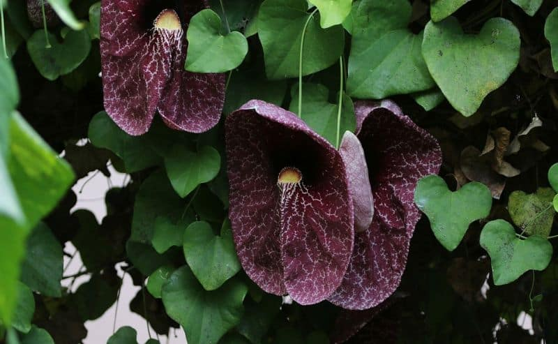 top-10-ugliest-flowers-2-birthwort-pixabay