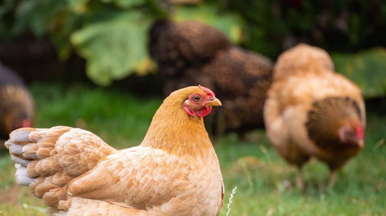 top-garden-pets-brits-2-hens