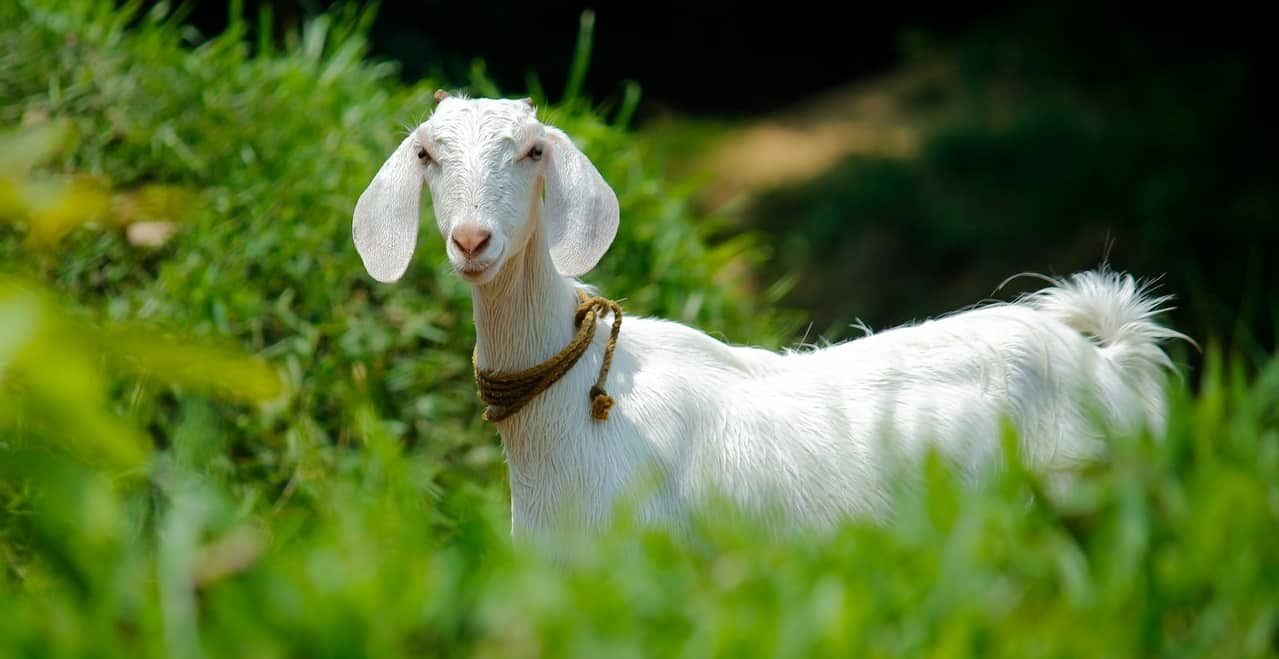 top-garden-pets-brits-6-goats