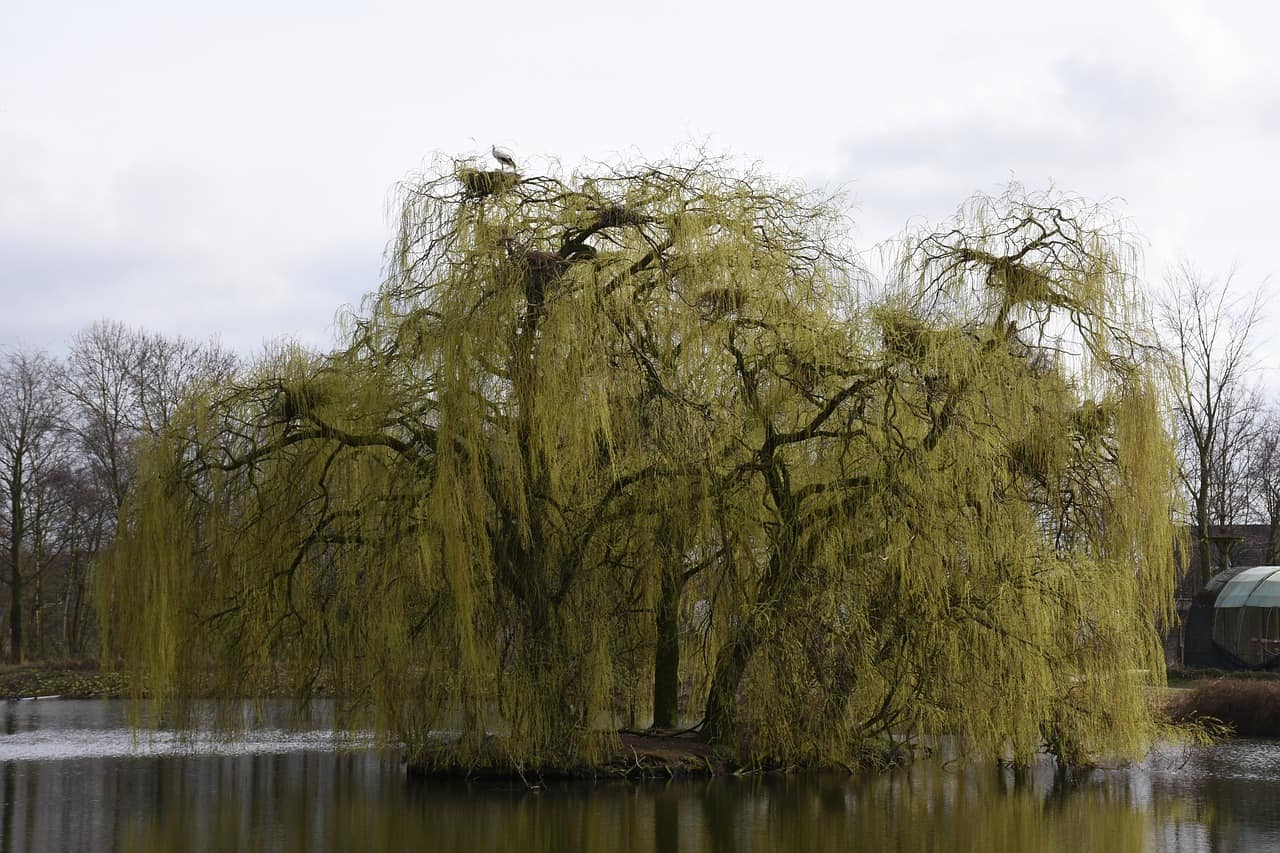 uk-fastest-growing-trees-1-weeping-willow