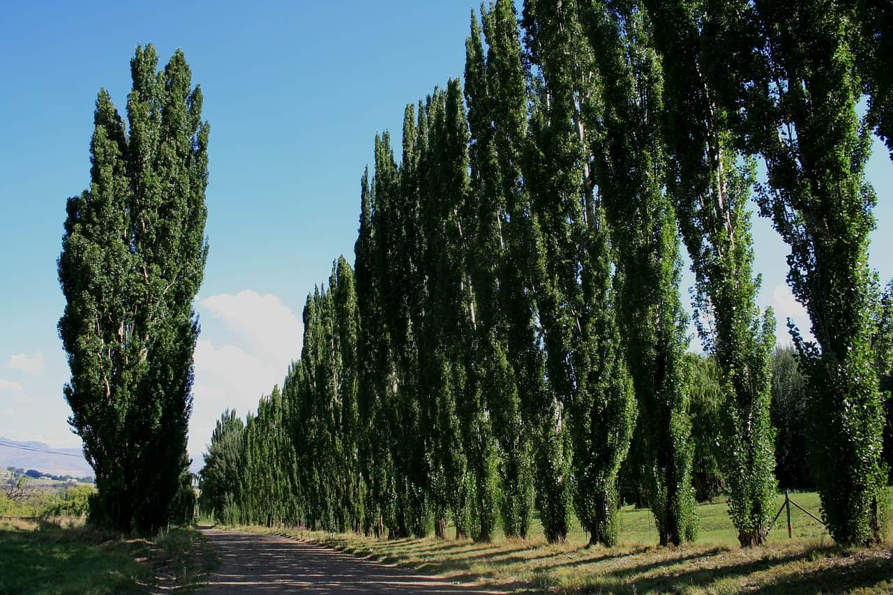 uk-fastest-growing-trees-2-lombardy-poplar