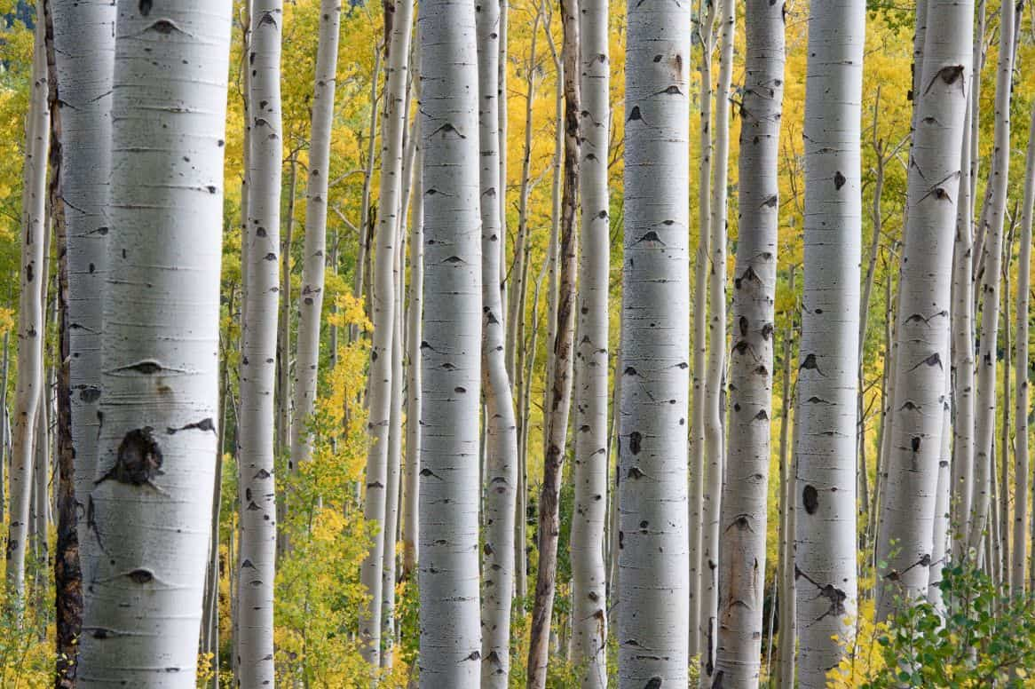 uk-fastest-growing-trees-5-silver-birch