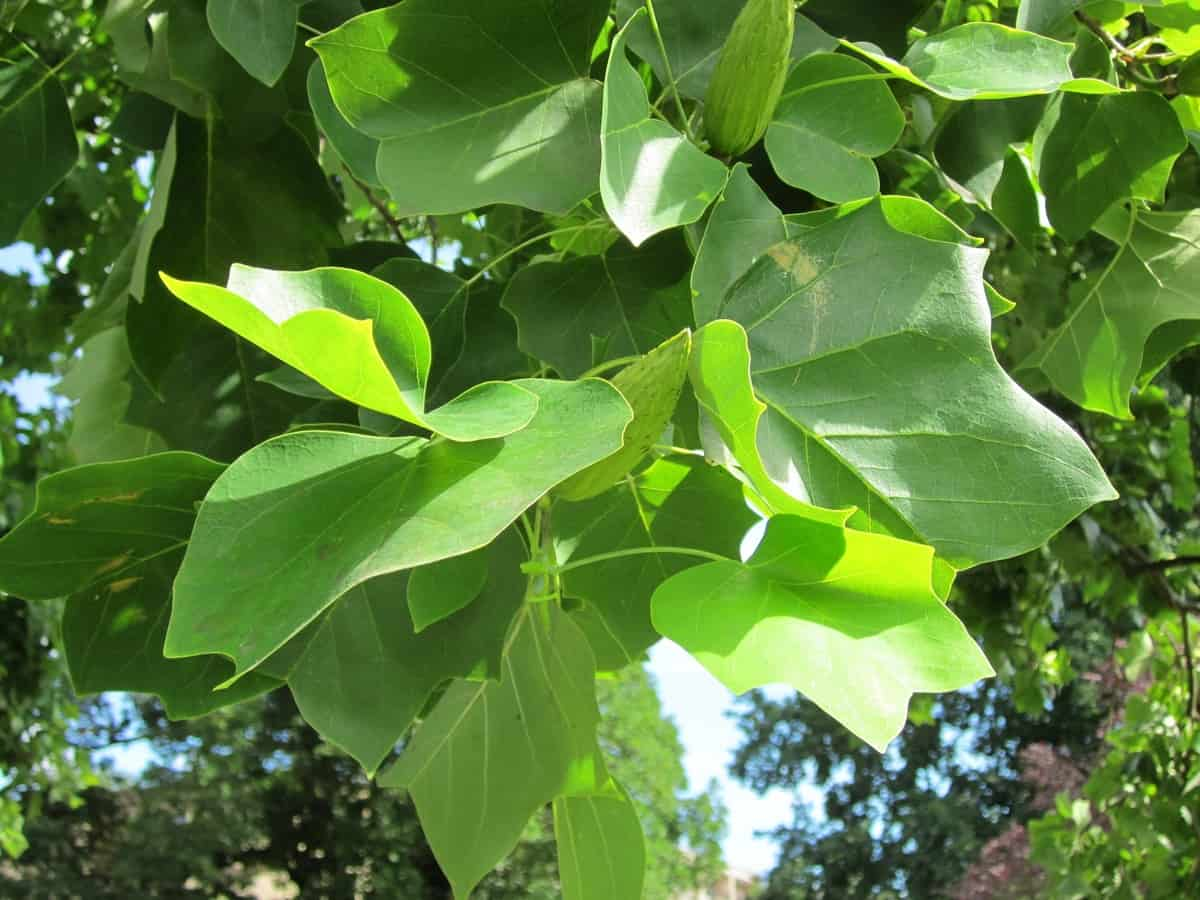uk-fastest-growing-trees-9-tulip-poplar