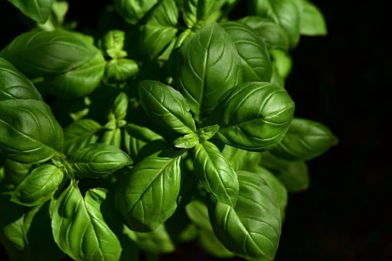 Growing basil in your winter greenhouse