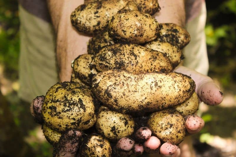 Growing potatoes in your winter greenhouse