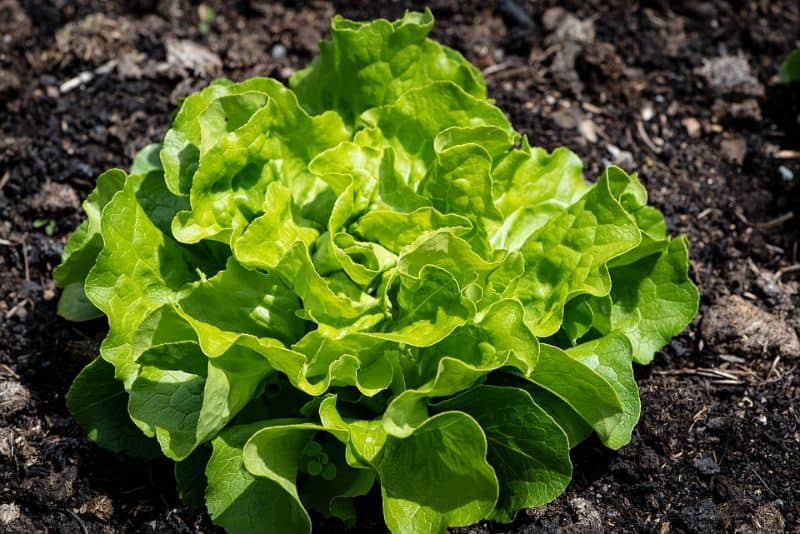 Growing lettuce in your winter greenhouse