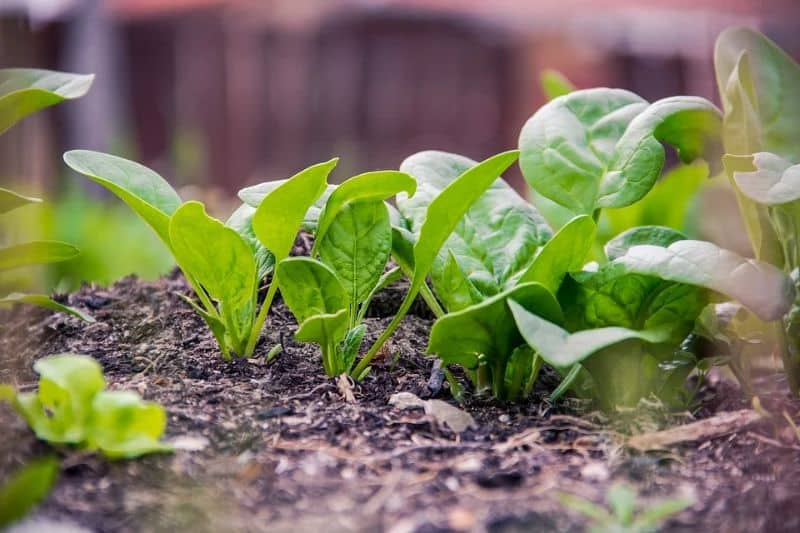 winter-greenhouses-winter-vegetables-6-spinach-and-kale