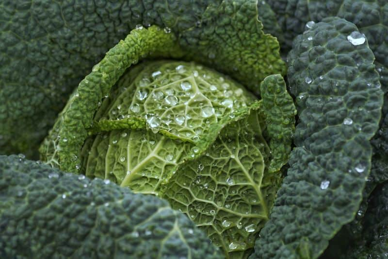 winter-greenhouses-winter-vegetables-7-cabbage-and-broccoli