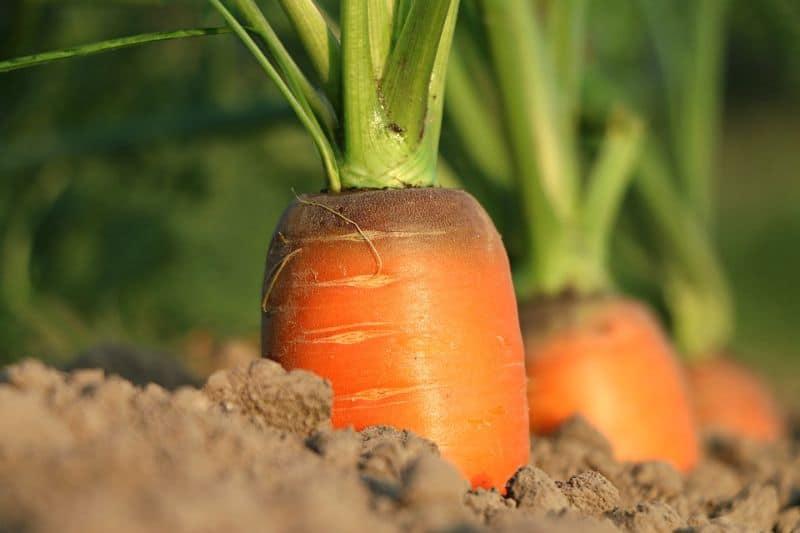 winter-greenhouses-winter-vegetables-9-carrots